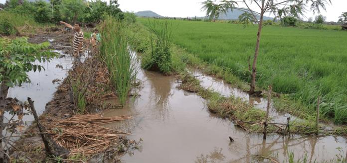 Pasca banjir yang merendam area persawahan Waekokak.
