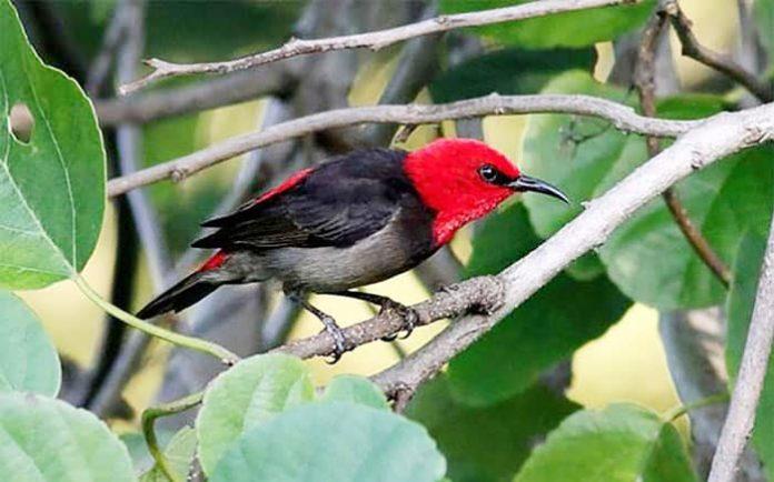 Jenis burung baru yang ditemukan LIPI di Pulau Rote, NTT, dan diberi nama ilmiah Myzomela Irianawidodoae, sebuah nama yang diambil dari nama ibu negara, Iriana Widodo.