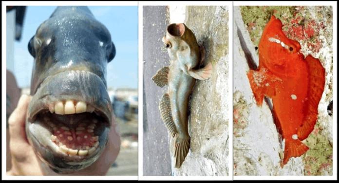 Penampakan ikan Sheepshead, 'O'opu, dan Rhinopias agriloba.